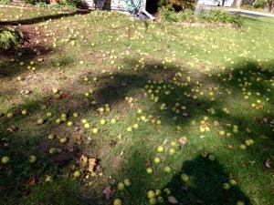 Photo 31 Black Walnuts 1