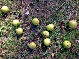 Photo 31 Black Walnuts 2