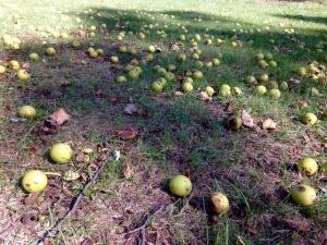 Photo 31 Black Walnuts 5jpg