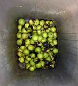 Photo 31 Black Walnuts 7