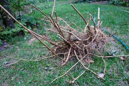 Post 80 Hydranae Root Ball