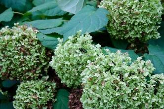Post 80 Hydrangea Bush 2