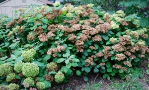 Post 80 Hydrangea Bush 4