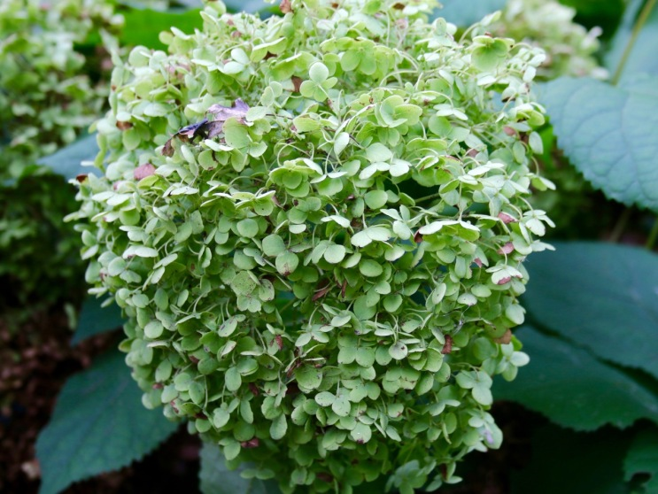 Post 80 Hydrangea Flower 1